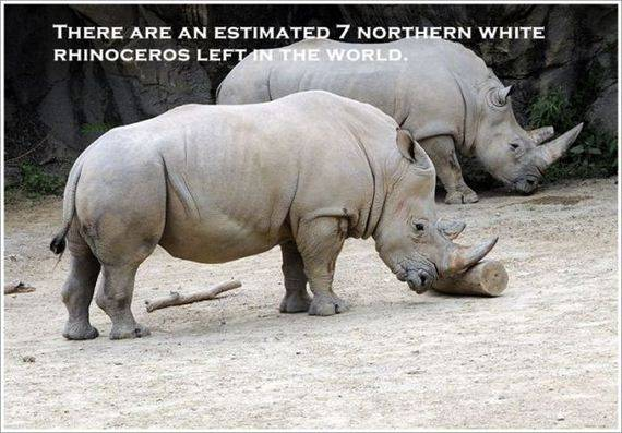 THERE ARE AN ESTIMATED 7 NORTHERN WHIT RHINOCEROS LEFT IN THE WORLD.