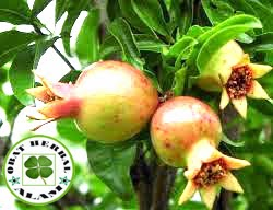 Obat Tradisional herbal dari daun delima yang kaya manfaat