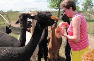 Visiting with alpacas