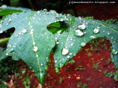 dew on leaves, rain drops