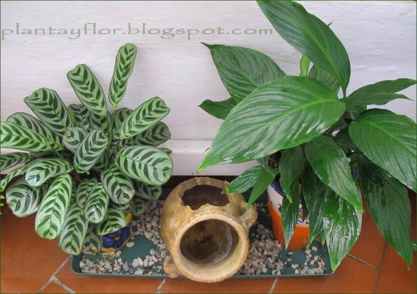 Plantas ornamentales de sombra http plantasmolino for Plantas ornamentales de exterior