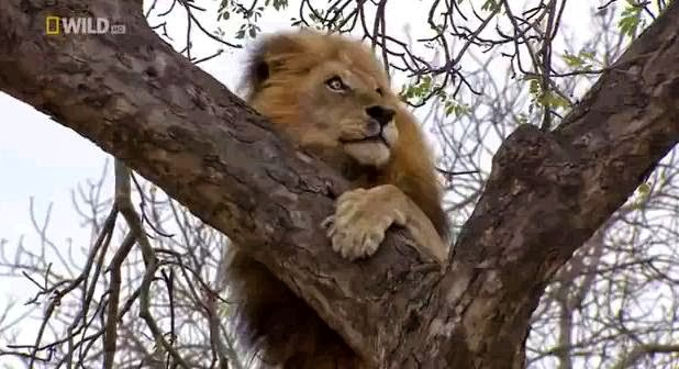 Lions of Timbavati Wildlife Park.Big cats,Lions on Tree,National Geographic wild Animals,Dangerous Lions,Lions Attack,Timbavati Wildlife Park