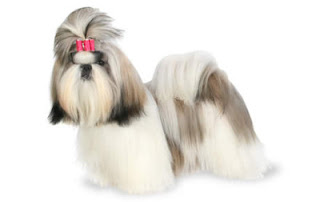 Cute Shih Tzu Pictures