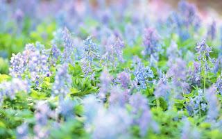 flores silvestres lilas