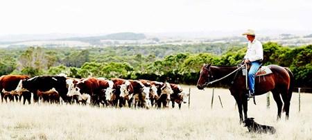 Nước Úc có khoảng 23.9 triệu con gia súc.