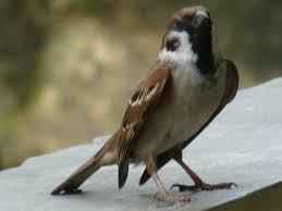 Burung Gereja Agar