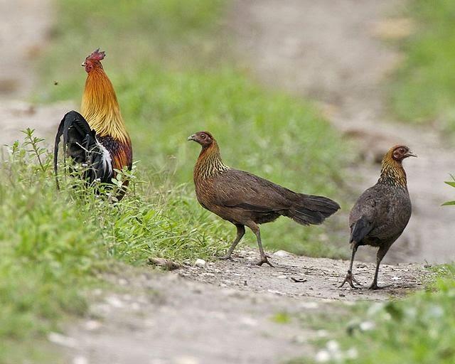 Vogel Rode Borst Zwarte Kop