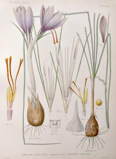 Açafrão - Crocus sativus