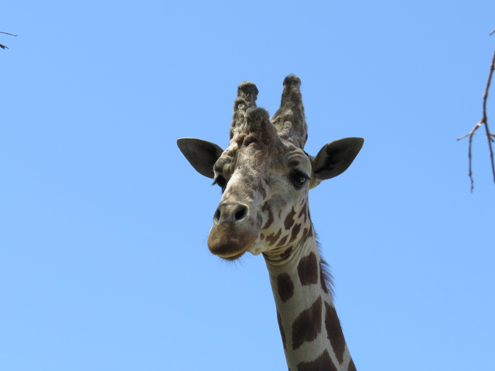 The Living Desert giraffe