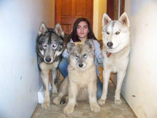 Wolf Dog Hybrid Size Hybrid Wolf Dogs i Want One