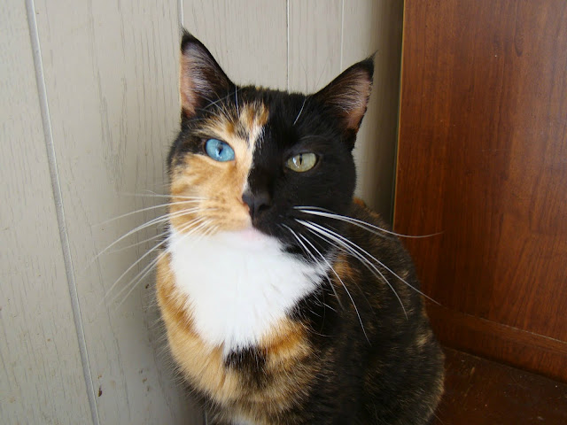 A cat with different eyes' color and face, cute cat, cat picture