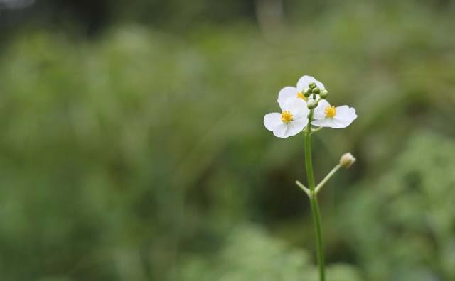 Broadleaf Arrowhead Flowers Pictures