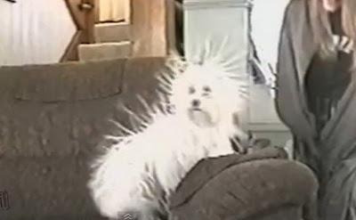 靜電狗 怒髮衝冠(怒髮衝冠的靜電狗)
