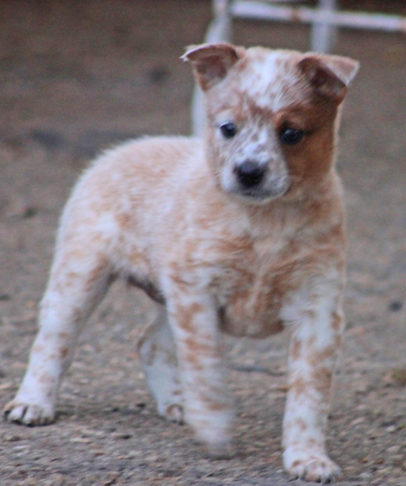 Queensland Heelers For Sale In California Design | Dog Breeds Picture