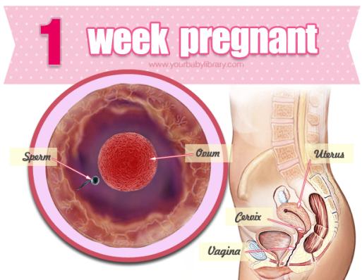 gravid första veckan