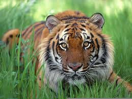 saka harimau