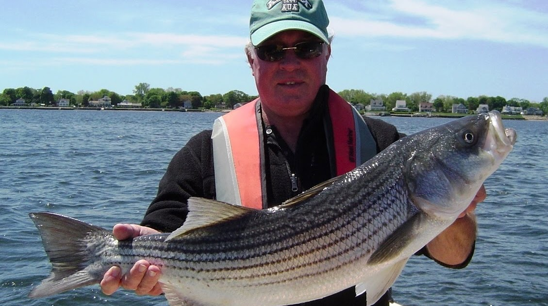 No fluke fishing what 39 s happening to striped bass part ii for Rhode island saltwater fishing regulations