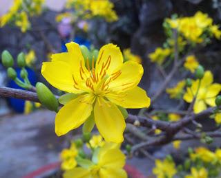 Hình nền hoa mai tuyệt đẹp