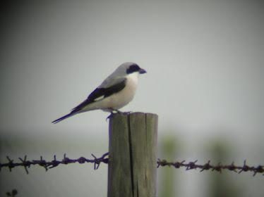 Lesser Grey Shrike (Kelling)