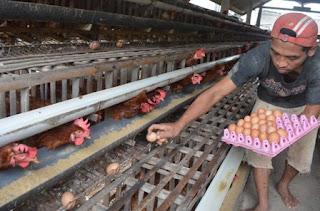 Cara Budidaya Ayam Petelur Untuk Bisnis Yang Menjanjikan