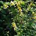 Agrimonia (Usos mágicos y medicinales)