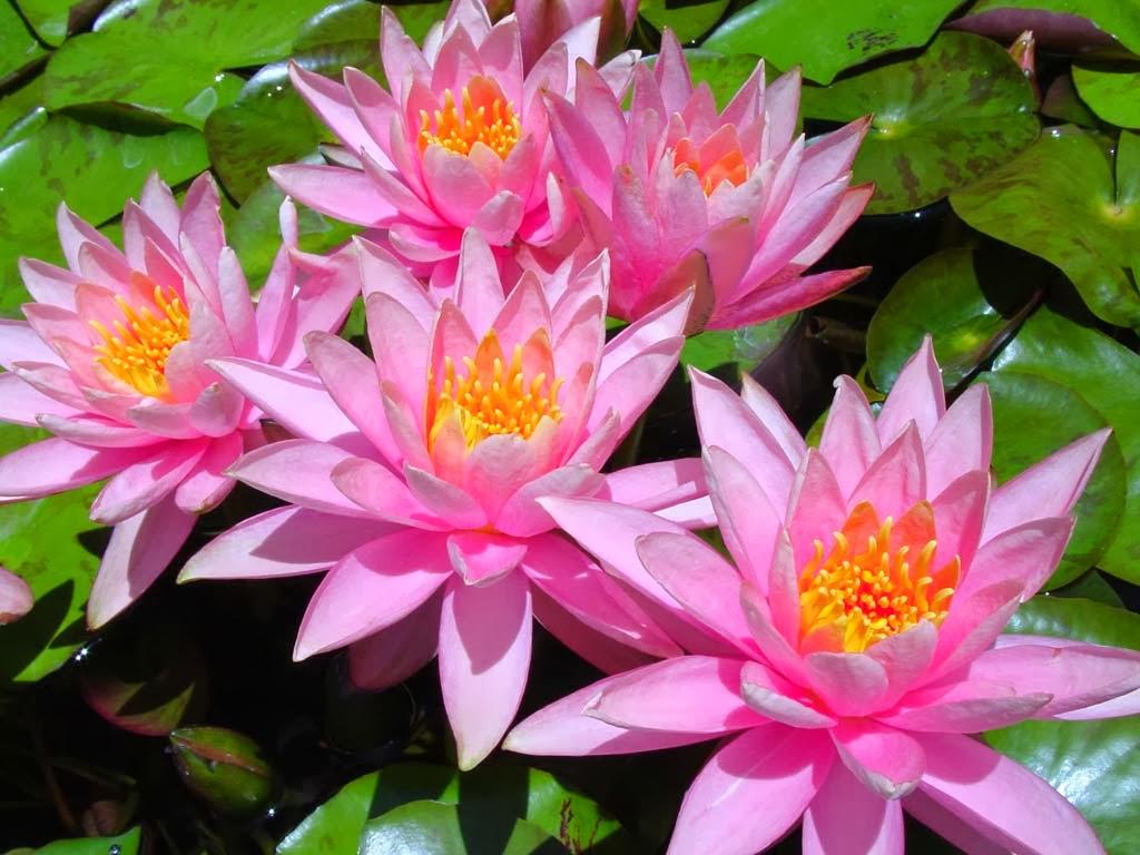 Very Nice Pink Flowers Wallpapers