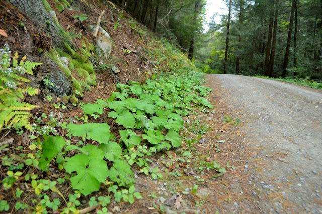 Coltsfoot along a woods-road