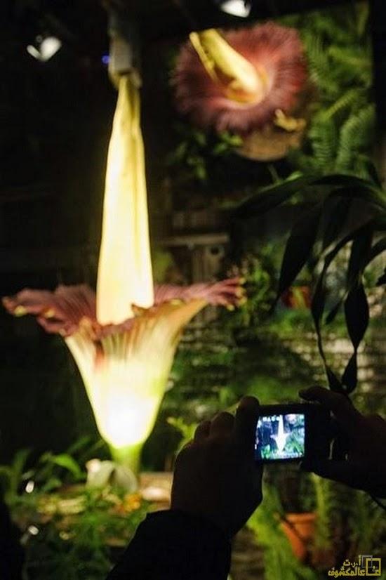 أكبر زهرة في العالم Titan Arum