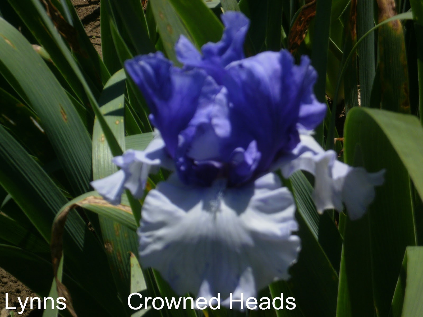 how to cut back irises