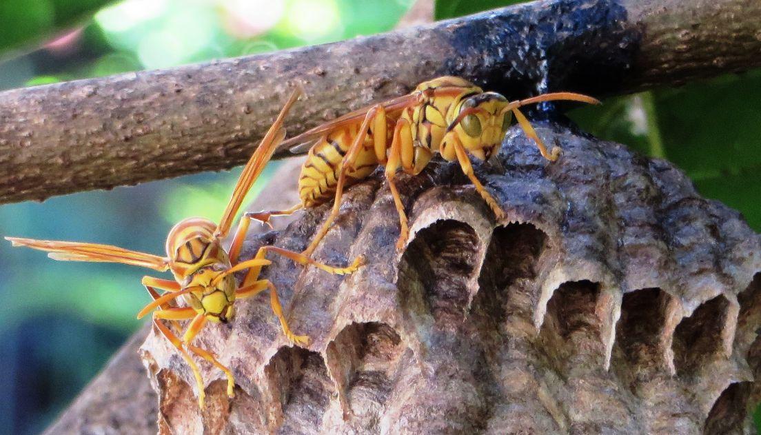 rodrigues via mauritius wespenstich stung by a wasp piqu par une mouche jaune. Black Bedroom Furniture Sets. Home Design Ideas