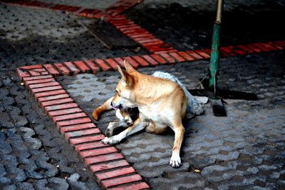 Thailand stray dogs