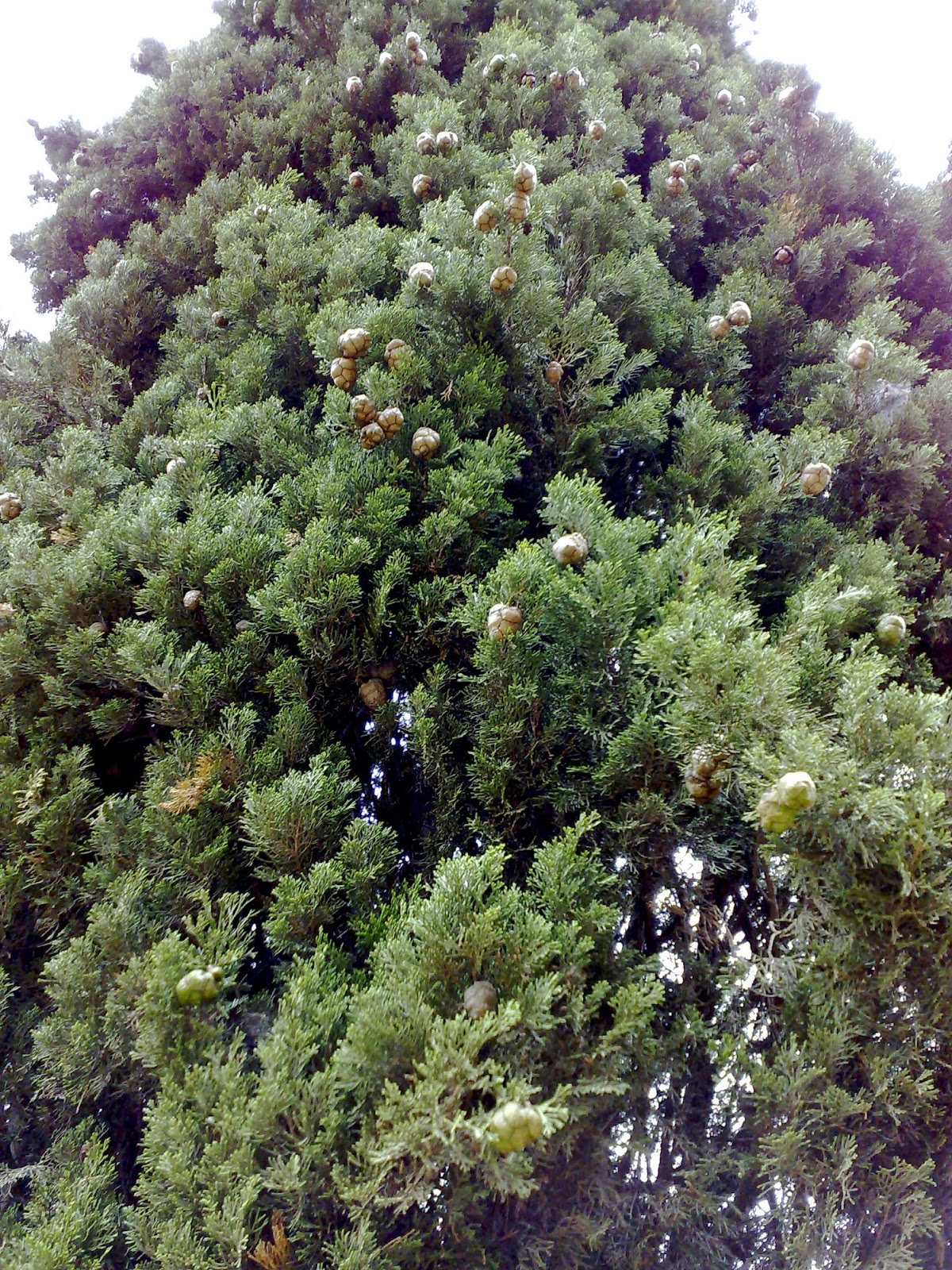 Rboles con alma cipr s xiprer cupressus sempervirens for Jardin cipres