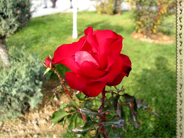 Rosa, símbolo de Alá