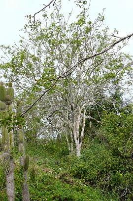 Palo Santa Galapagos Wikipedia Image