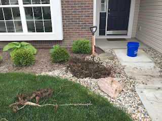 taking out dead japanese maple