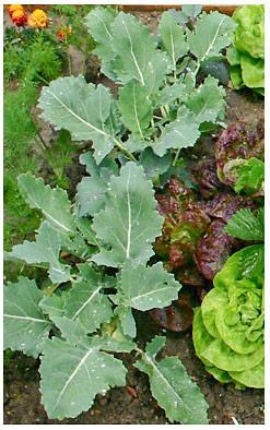 Mischkultur Salat Kohlrabi und Möhren