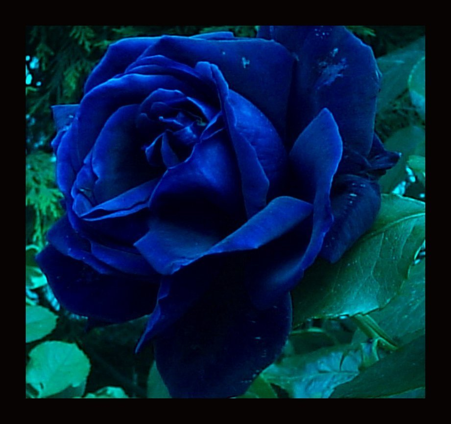 blue rose maybe navy blue