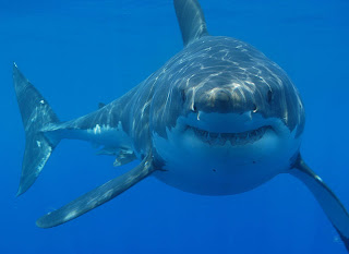 Great white shark (Carcharodon carcharias) off South Africa. Image: Hermanus Backpackers, via Wikipedia.