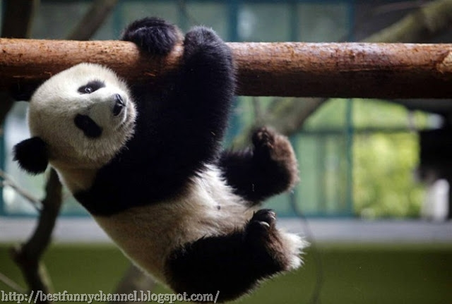 Cute and funny pictures of pandas 3