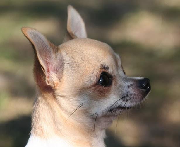 ... Galleries: Deer Head Chihuahua , White Applehead Chihuahua Adult