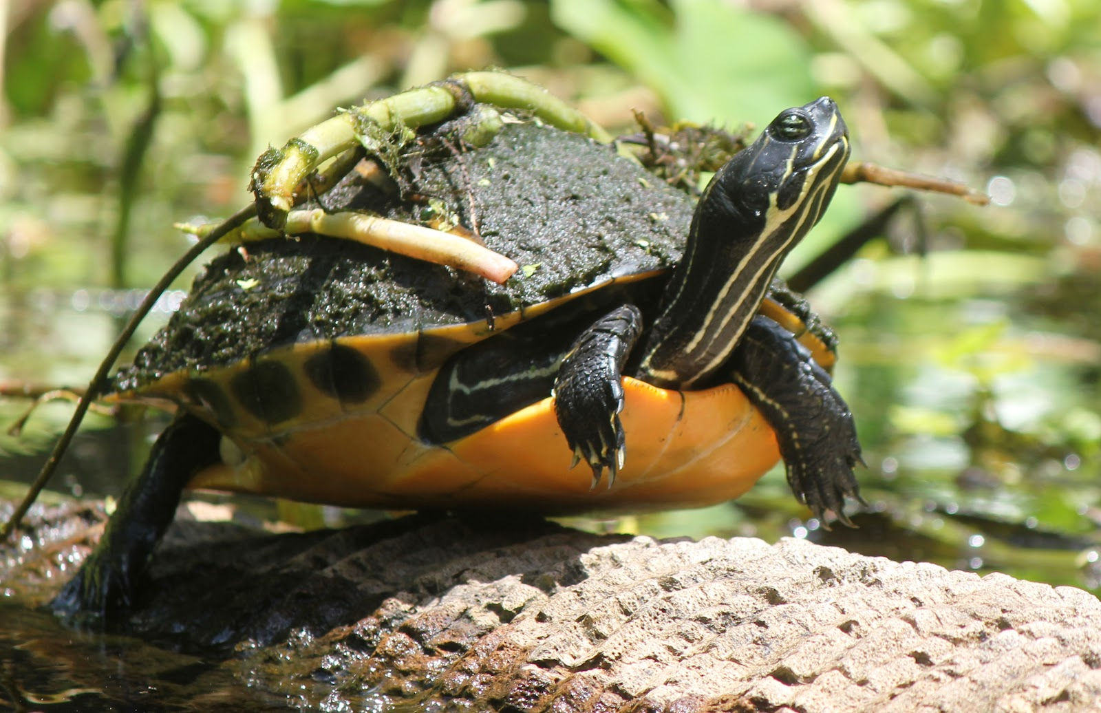 of animal river turtle river turtles are found inhabiting freshwater ...