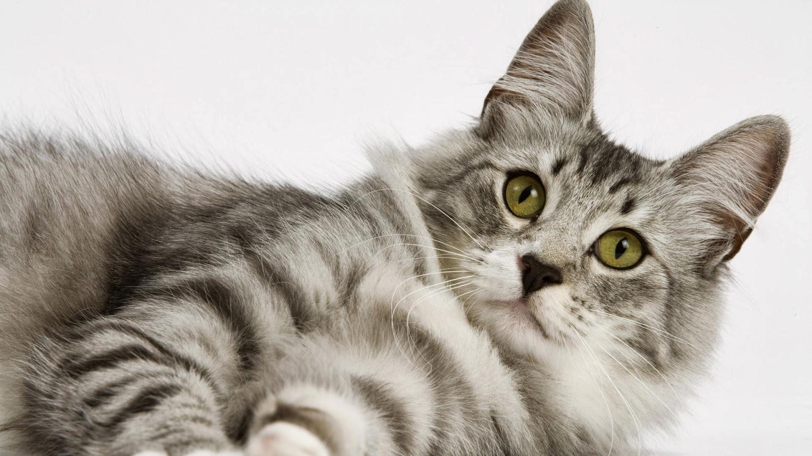 Wallpaper Kucing Keren