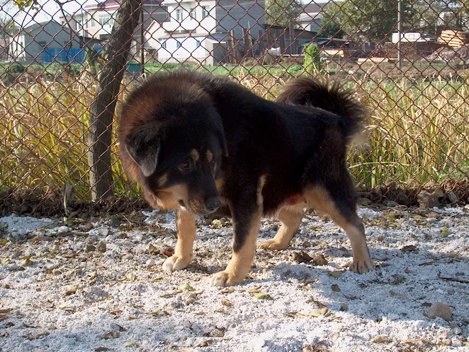 Dog Breed Directory: Tibetan Mastiff Dog Breed
