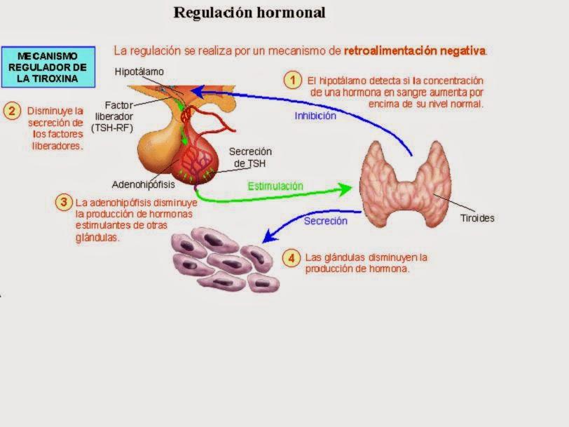 Todo a cerca de las hormonas | Gori-Gori