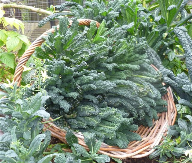 how to cut kale from garden