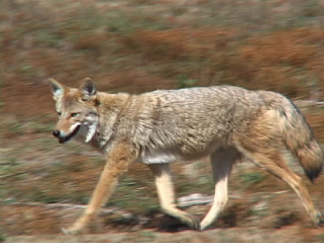 Coyote | Animal Wildlife