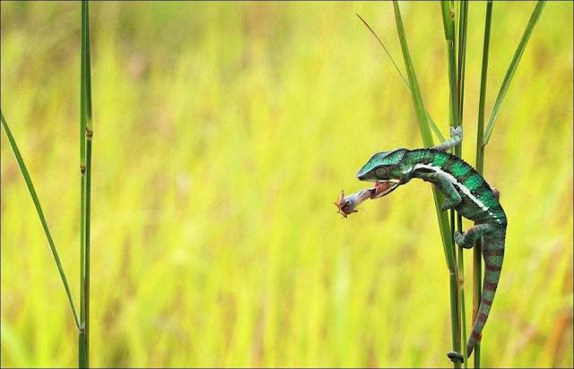 Chameleon catching prey, chameleon captures insect, chameleon photos, amazing animals