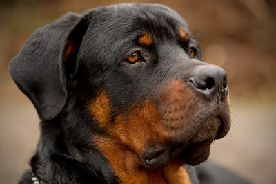 Headshot of a rottweiler showing its brown eyes, ears and mouth