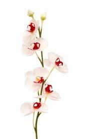 Elegant Orchids Photos