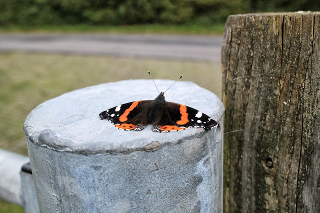 uk butterfly autumn